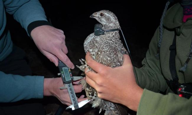 USGS biological science technicians take leg measurements of a female bi-state greater sage-grouse.  Credit: Dan Hottle/USFWS