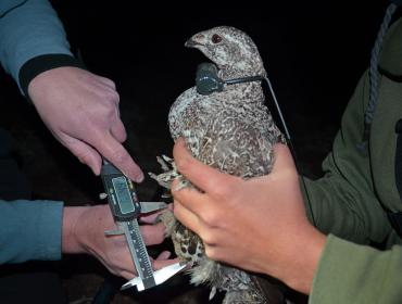 Sage-Grouse capture