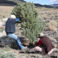 Volunteer pinyon juniper eradication