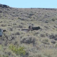 Cattle & Pronghorn in Lek