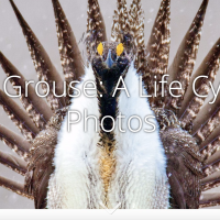 Sage-grouse story map